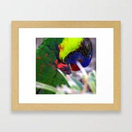 Lorikeet Framed Art Print