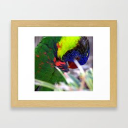 Lorikeet Framed Art Print
