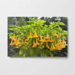 Yellow Brugmansia or Angels Trumpets Metal Print