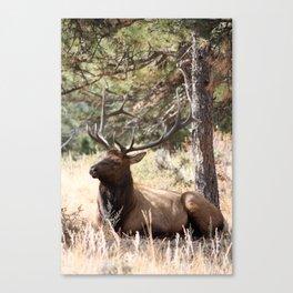Bugling Season Canvas Print