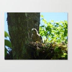 young hawk Canvas Print