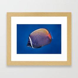 Redtail butterflyfish Framed Art Print