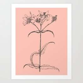 Scientific Daisy Pink Flower Drawing Art Print