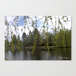Soft willow tree branches by water pond in a garden.  Canvas Print