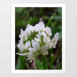 Up close white clover Art Print