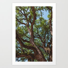 Texas Cottonwood Art Print