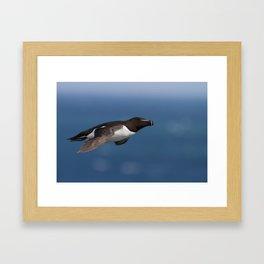 Razorbill (Alca torda) Framed Art Print