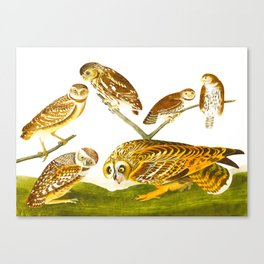 Burrowing Owl Illustration Canvas Print