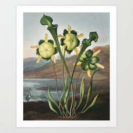 Pitcher Plant from The Temple of Flora (1807) by Robert John Thornton. Art Print