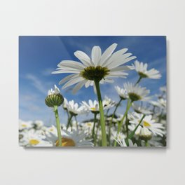 Daisy Flowers, Petals, Blossoms - White Green Metal Print