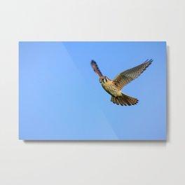 An American Kestrel Flying Looking For Prey in Nehalem, Oregon Metal Print