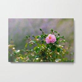 Pink rose flower. Misty morning Metal Print