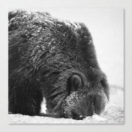 Alaskan Grizzly Bear in Snow, B & W - 2 Canvas Print