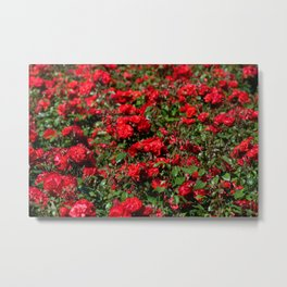 Red roses bunches grow in park Metal Print