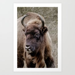 European bison portrait Art Print