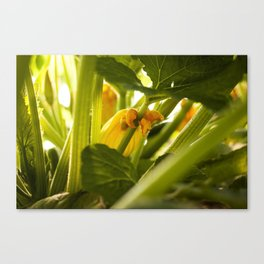 Zuchini Blossom Photography Print Canvas Print