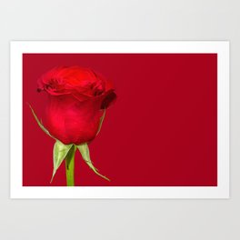 Red Rose on Red Background. Macro shot of Red Rose Art Print