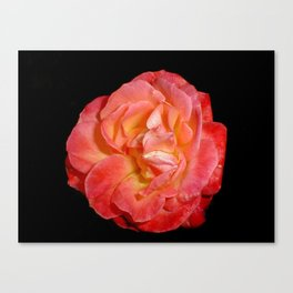 Red Rose (Rosaceae) Canvas Print