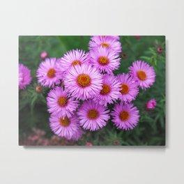 Pink Asters Metal Print