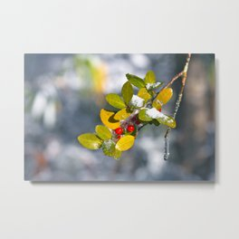 Snow covered holly Metal Print