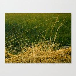 Grasses. Canvas Print