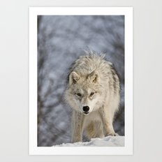Young Arctic Wolf  Art Print