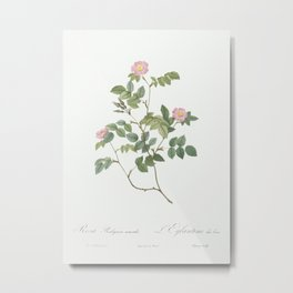 Eglantine also known as Wild Rosehips (Rosa rubiginosa nemoralis) from Les Roses (1817–1824) by Pier Metal Print