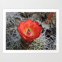 Red Blossom on a Hedgehog Cactus Art Print