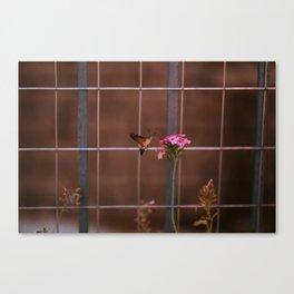 Hummingbird hawk-moth Canvas Print