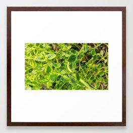 Lemon Thyme Framed Art Print