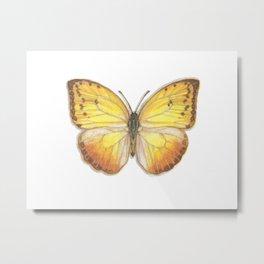 Butterflies: Orange-Barred Sulphur Metal Print
