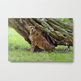 Wild Cheetah Metal Print