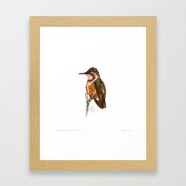 White-bellied Woodstar Framed Art Print