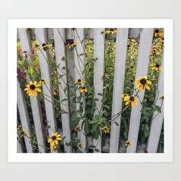 Fenced In Black Eyed Susans Art Print
