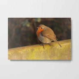 European Robin in Donegal 122 Metal Print