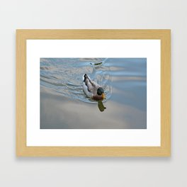 Mallard duck swimming in a turquoise lake 1 Framed Art Print