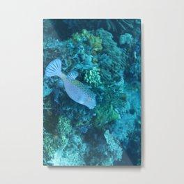 Blue pursed-lip boxfish Metal Print
