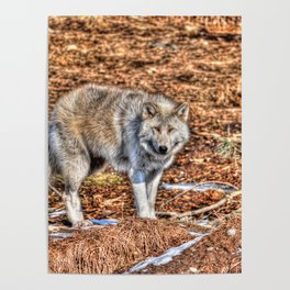 Arctic Wolf and Pine Tundra Poster