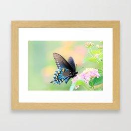 Spicebush Swallowtail Butterfly on Lantana Framed Art Print