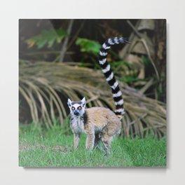 Madagascar's Exotic Ringtail Lemur Metal Print