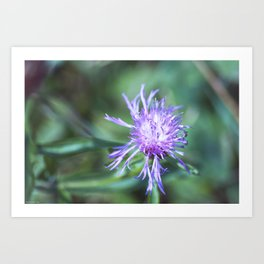 Knapweed Art Print