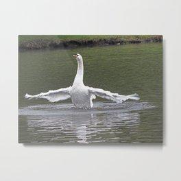 swan flexing Metal Print