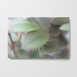 Dew drops on rose leaves Photography Metal Print