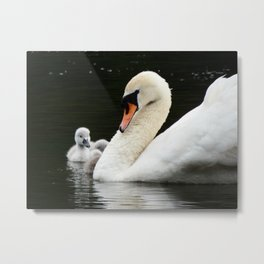 Swan and cygnet Metal Print