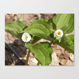 Blooming Trilliums Canvas Print