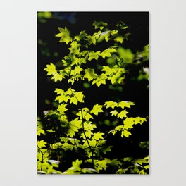 late summer sunny maple leaves Canvas Print