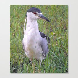 Night Heron in the Green Grass Canvas Print