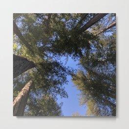 Redwood Tree Tops Metal Print
