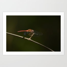 Half-banded Toper (dragonfly) Art Print