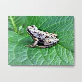 Northern Pacific Tree Frog - Pseudacris Regilla Metal Print